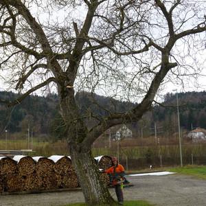 Rodungen eines alten Baumes